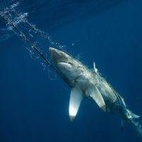 ฉลาม 100%